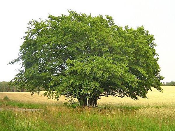 Дерево Граб